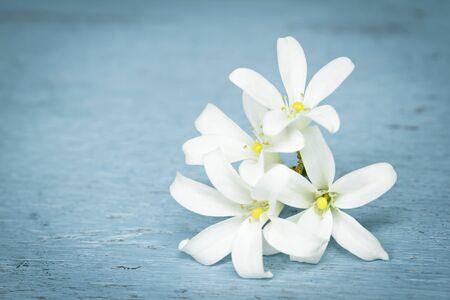 jessamine: Bianco fiore fioritura. Arancione Jessamine o Adaman Satinwood, albero scatola cinese, Arancione gelsomino, cosmetici Corteccia di albero in legno