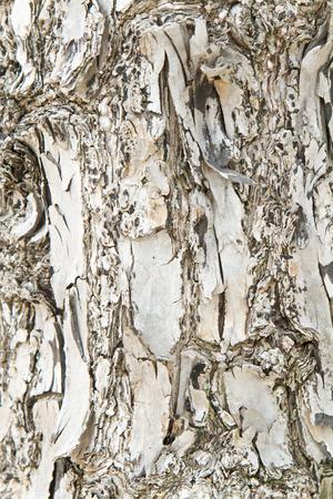 Texture of bark tree. Stock Photo