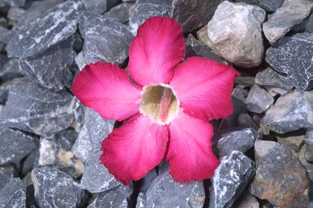 Adenium aka Desert Rose flower Stock Photo - 26811717