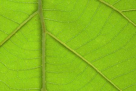 Brightly closeup of teak leaf texture detail photo