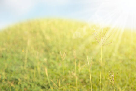 Abstract Lalang grass field background with mixed of both green and dried grass flower and leaves with strong sun star and blue sky background Stock Photo