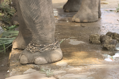 excrement: Closeup of chained elephant legs with excrement left under elephant