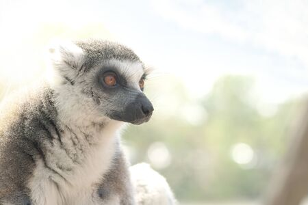 endangered species: Lemur catta AKA Lemur ring tailed, an Endangered species closeup look to his face with sun directly back lit the face.