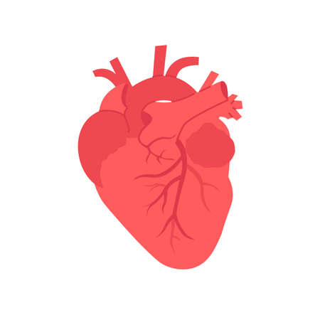 Flat vector human realistic heart isolated white background.