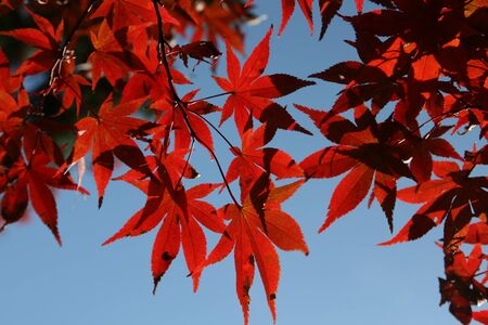 Japanese Red Maple leafs