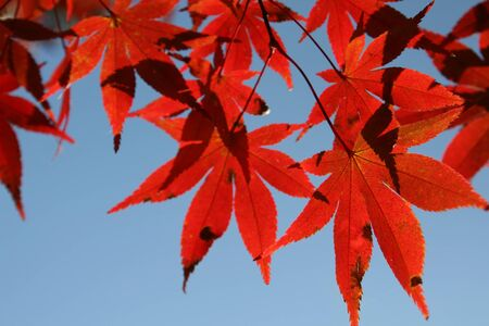 Japanese Red Maple leafs with blue sky in background Stock Photo