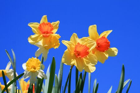 Yellow spring daffodil flowers with clear blue sky photo