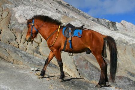 Bromo Horse Stock Photo
