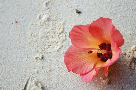 Pink hibiscus flower on sand