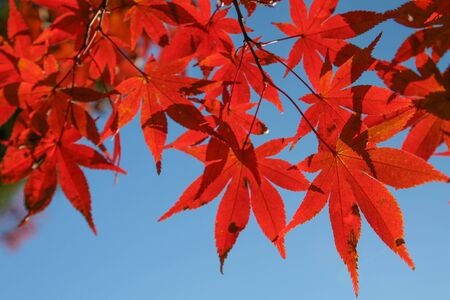 Red Maple leave photo