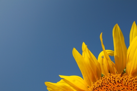 Sunflower with blue sky template photo