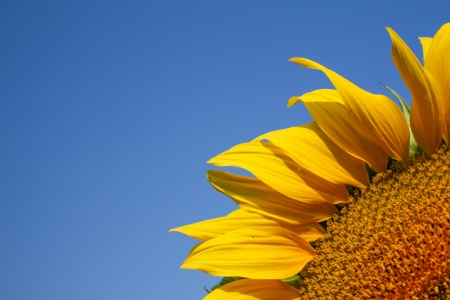 Sunflower with blue sky template