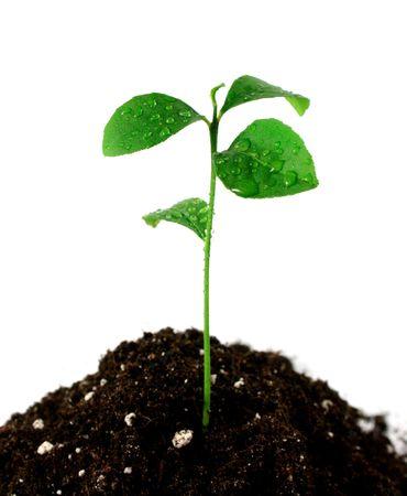 pedicel: Plant in soil on white background