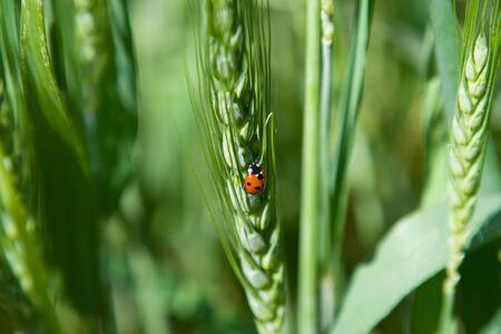 Close-up of ladybug (ladybug) on wheats ear photo