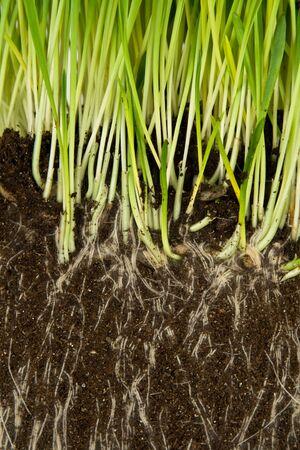 raices de plantas: Hierba verde y las ra�ces cerca de Foto de archivo