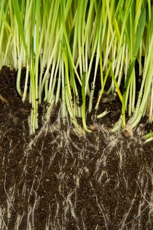 plant roots: Verde erba e radici di close-up