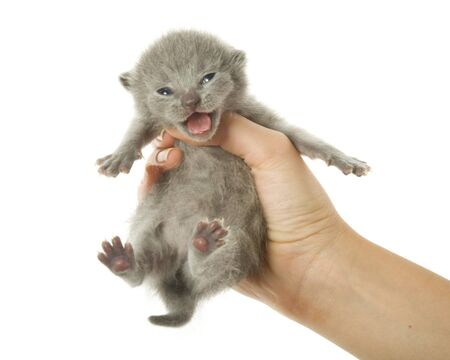 bawl: Kitten in hand. Isolated on white background
