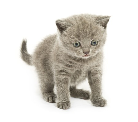 Small funny kitten. Isolated on white background photo