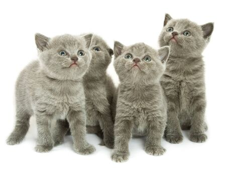 british short hair: Four small funny kittens. Isolated on white background