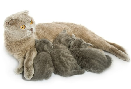 mamma: Small kittens and mother-cat. Isolated on white background