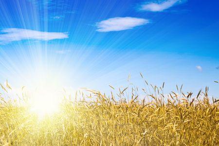 Cornfield in een zonnige dag met blauwe hemel