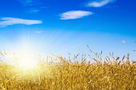 Cornfield in una giornata di sole con cielo blu  Archivio Fotografico
