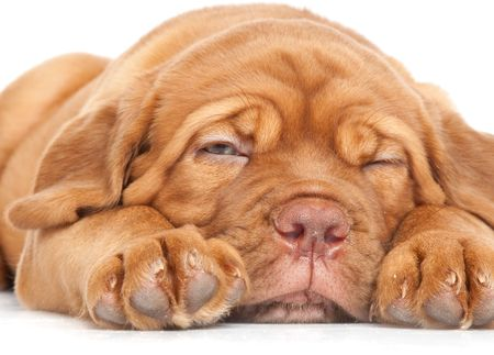 dogue de bordeaux: Puppy of Dogue de Bordeaux (French mastiff). Isolated on white background