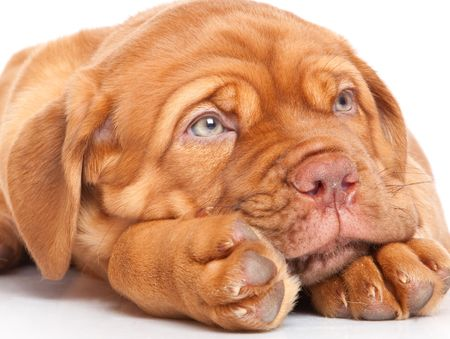 Puppy of Dogue de Bordeaux (French mastiff). Isolated on white background photo