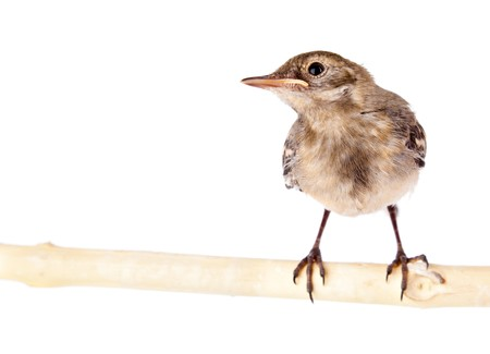Nestling of bird (wagtail). Isolated on white photo