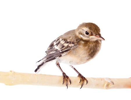 nestling: Nestling of bird (wagtail). Isolated on white Stock Photo