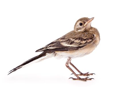 wagtail: Nestling of bird (wagtail). Isolated on white Stock Photo