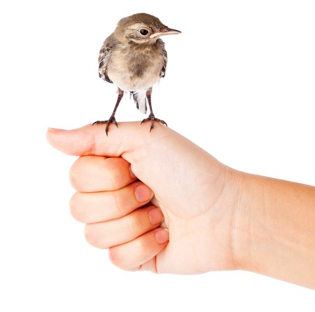 white wagtail: Nestling of bird (wagtail) on hand. Isolated on white