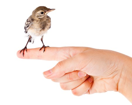 wagtail: Nestling of bird (wagtail) on hand. Isolated on white