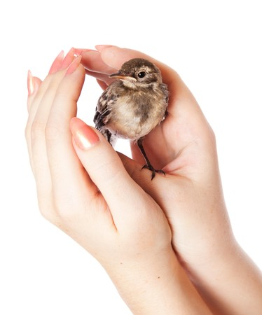 cute bird: Nestling of bird (wagtail) on hand. Isolated on white