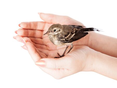 Nestling of bird (wagtail) on hand. Isolated on white photo
