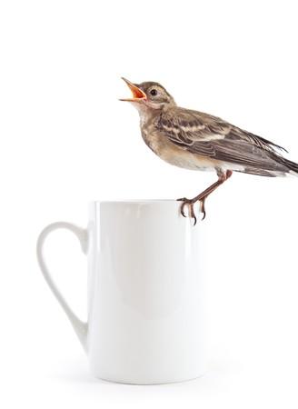 wagtail: Immerso di uccello (Motacilla) sulla tazza. Isolated on white  Archivio Fotografico