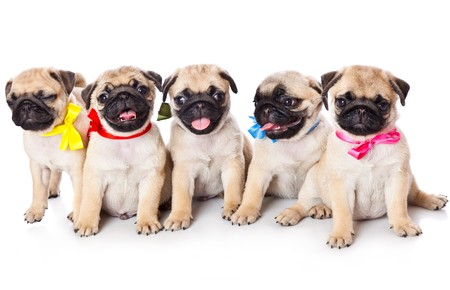 pug puppy: Five puppies of pug. Isolated on white