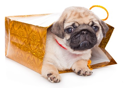 Puppy of pug in bags. Isolated on white photo