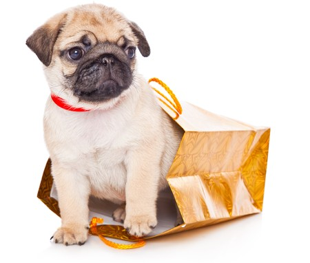 Puppy of pug in bags. Isolated on white Stock Photo - 7452189