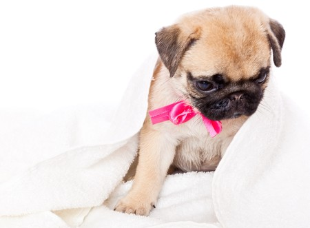 Puppy of pug towel. Isolated on white photo