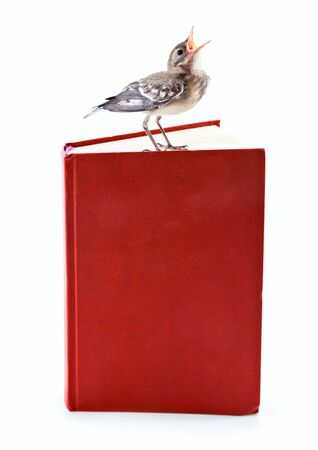 nestling: Nestling of bird (wagtail) on book. Isolated on white Stock Photo