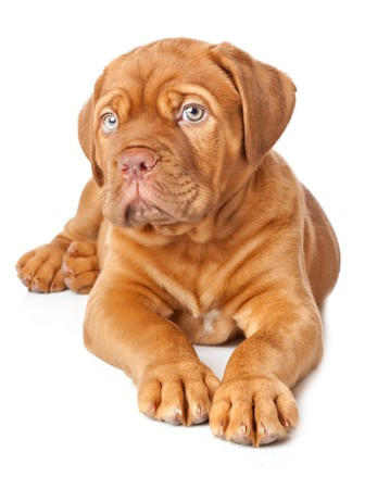 french mastiff: Puppy of Dogue de Bordeaux (French mastiff). Isolated on white background