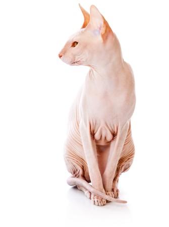 esfinge: Gato de Don Sphinx (DONSPHINX). Aislados en fondo blanco