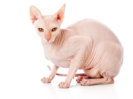 Don Sphinx (DONSPHINX) cat. Isolated on white background Stock Photo