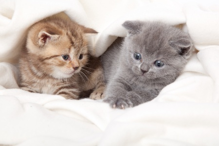 two little funny scottish fold kittens. isolated on a white background