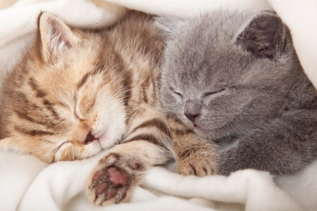 cat sleeping: two little funny scottish fold kittens. isolated on a white background