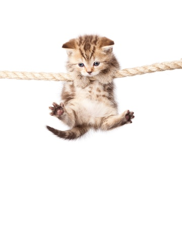scottish straight: a cute kitten is climbing on the rope. isolated on a white background