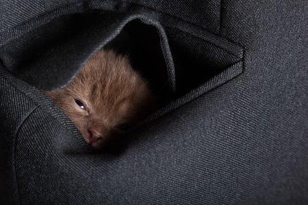 a little funny scottish fold kitten in the pocket photo