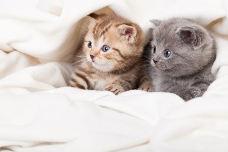 kitten small white: two little funny scottish fold kittens. isolated on a white background
