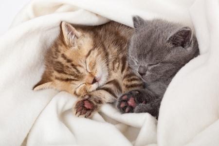 Deux petits chatons de funny scottish fold. isolé sur un fond blanc Banque d'images - 9001728